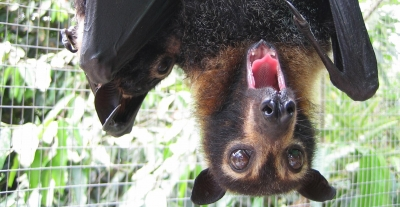 spectacled flying fox_big yawn