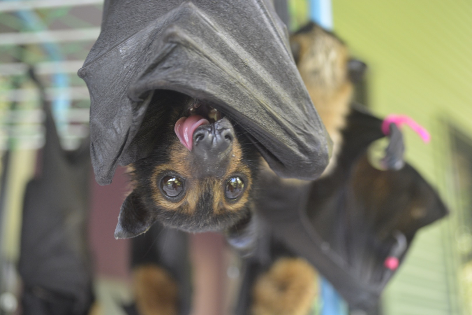 spectacled flying fox_big lick