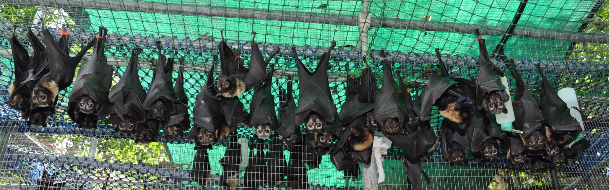 Large group of Spectacled flying fox orphans at Tolga Bat Hospital