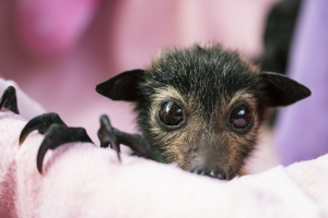spectacled flying fox_orphan_index