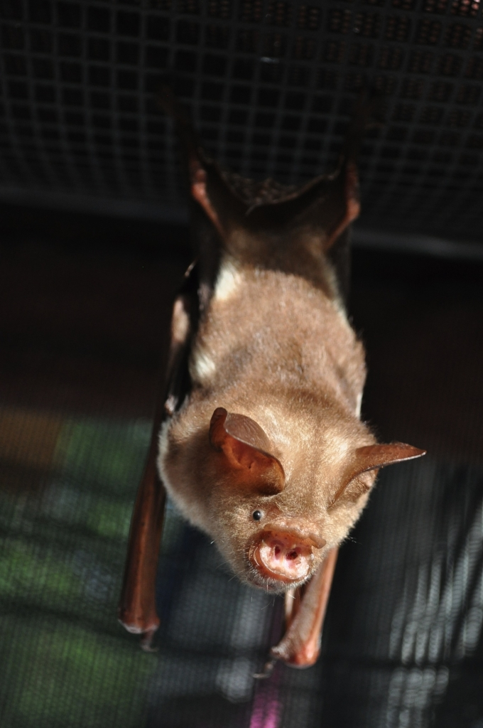 Lady Di is a special microbat for visitors.