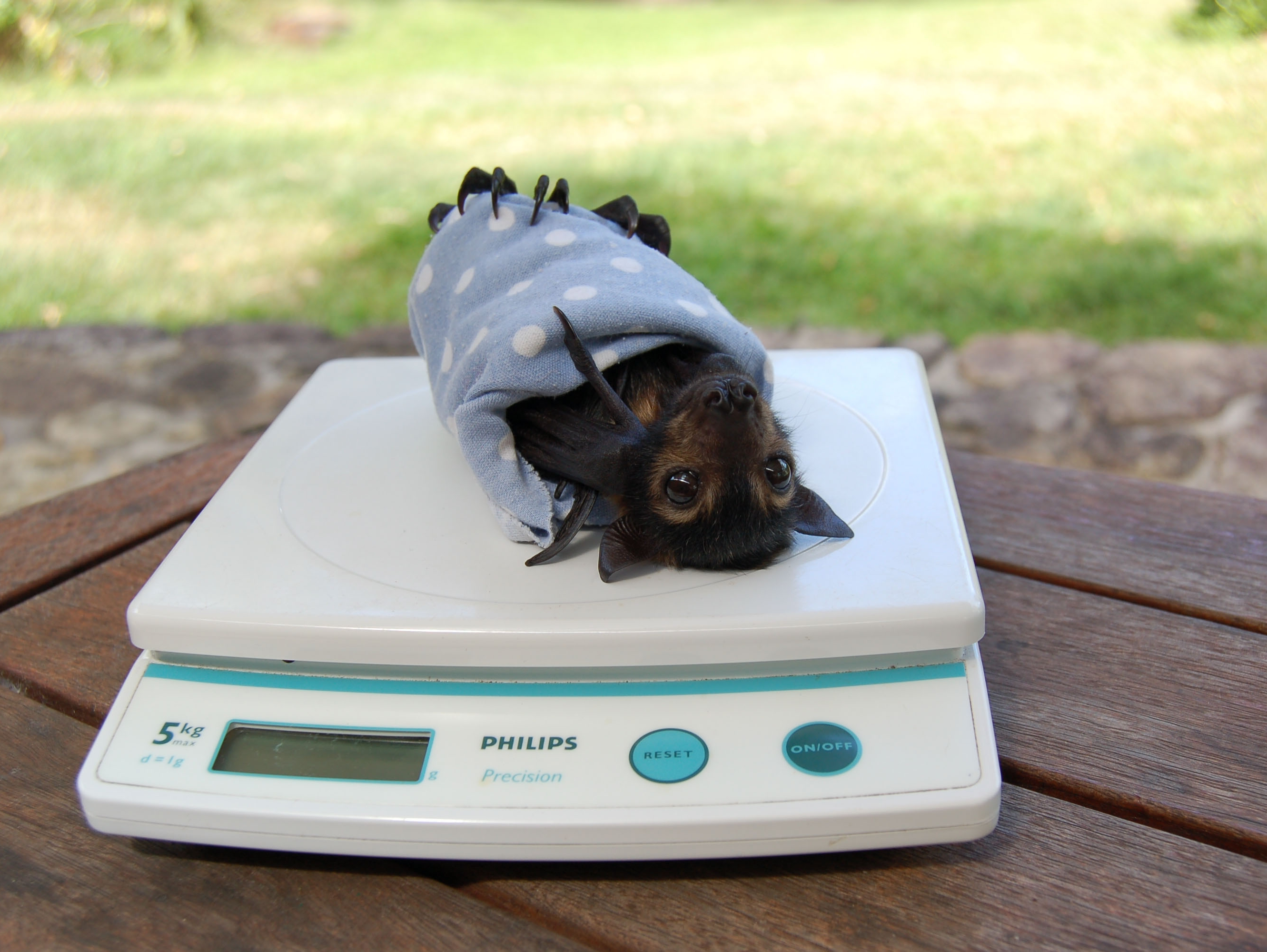 spectacled flying fox_weighing