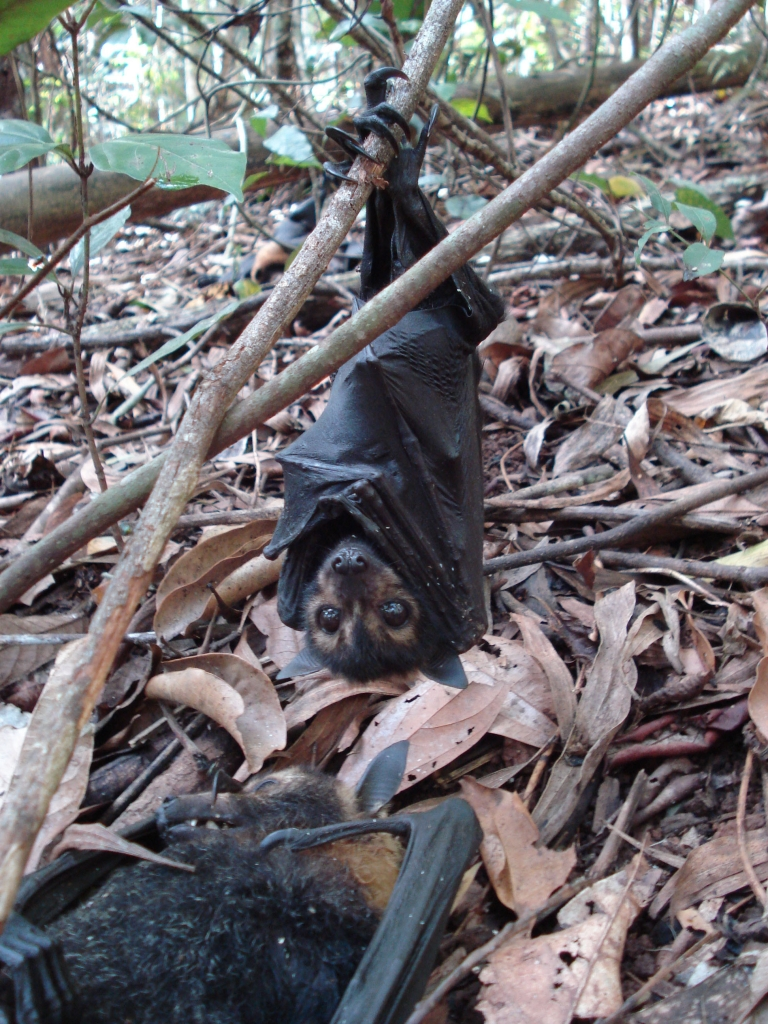 spectacled flying fox pup