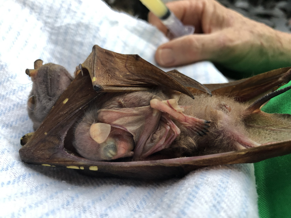 tube-nosed fruitbat with young pup
