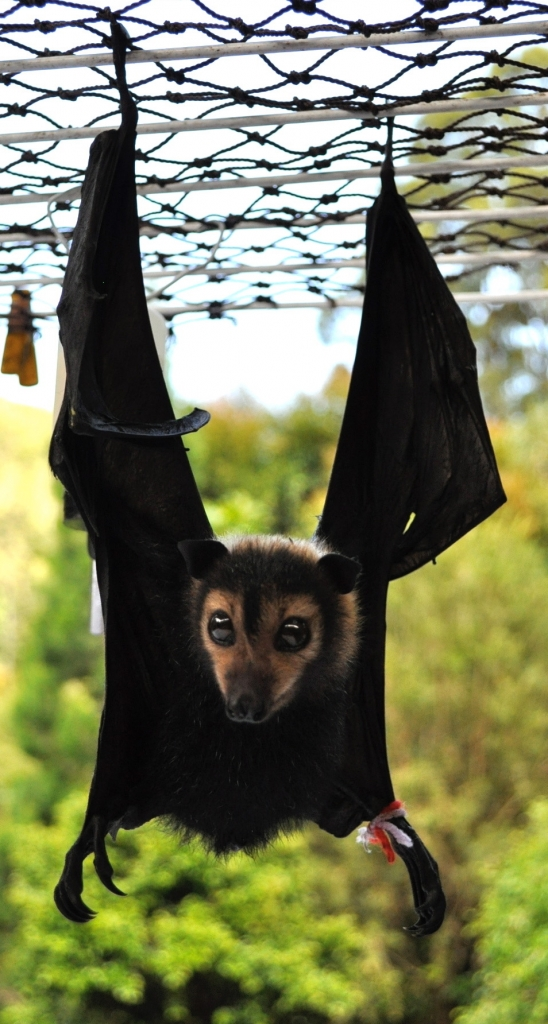 flying foxes learn to invert to go to the toilet at a very young age