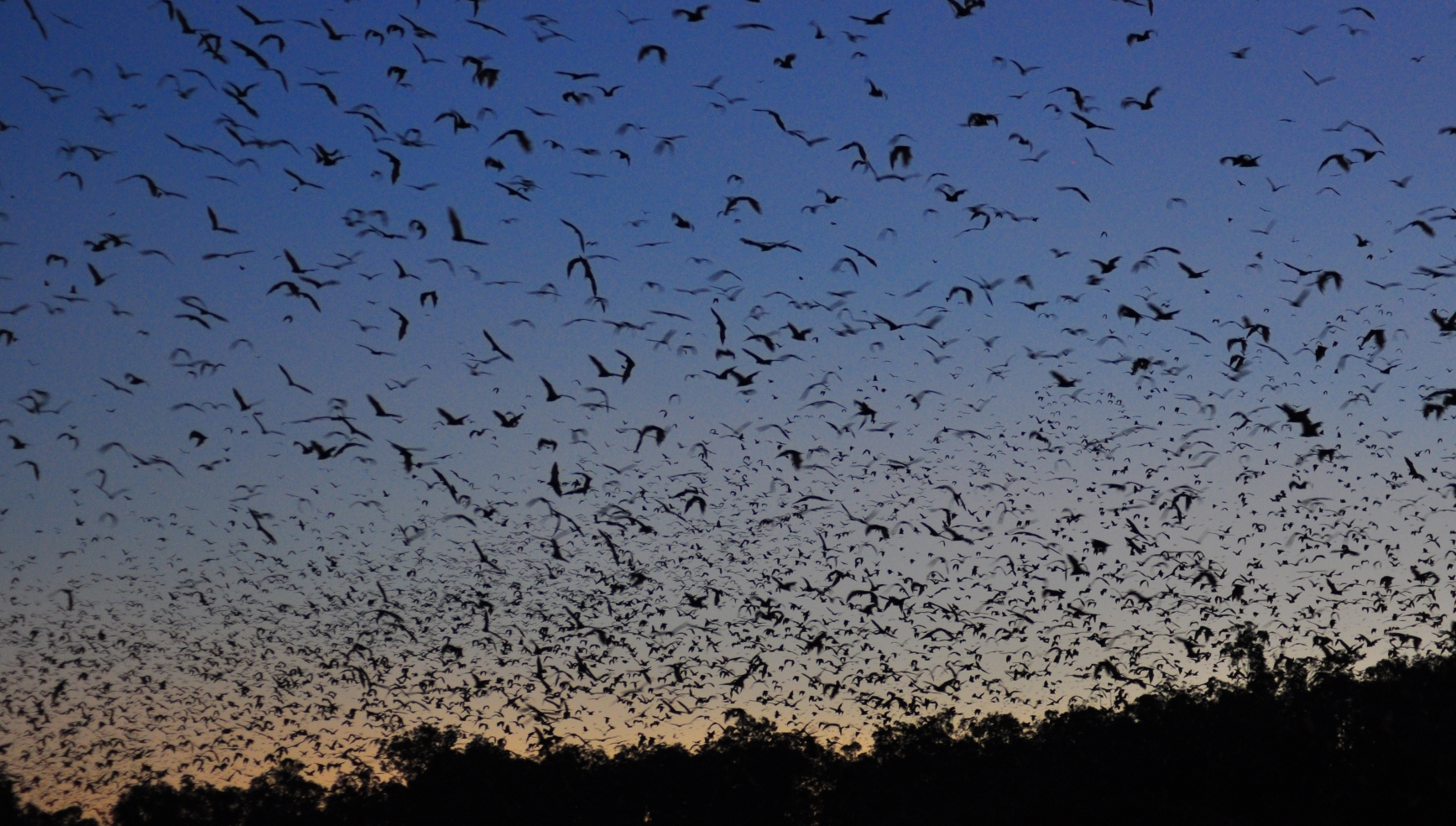 Large numbers of flying foxes arrive if there is a large food source but leads some people to think they do not need conservation.