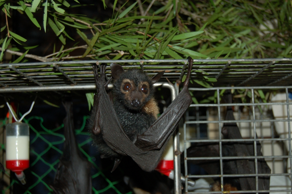 spectacled flying fox orphan -more core muscle strength