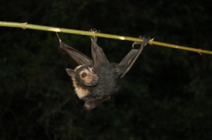spectacled flying fox_hanging