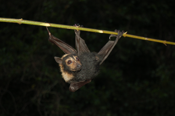 spectacled flying fox orphan developing more core muscle strength