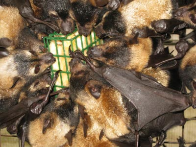 spectacled flying fox_love bananas