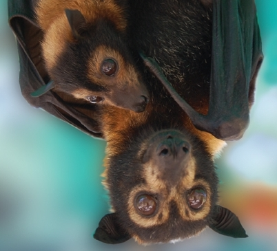 spectacled flying fox mother and pup, easily seen at the bat visitor centre October to April