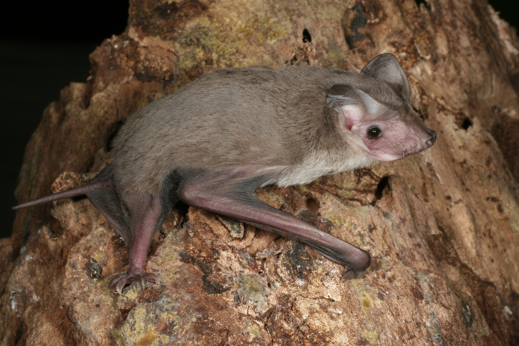 Eastern free tail microbats can be difficult to feed in care