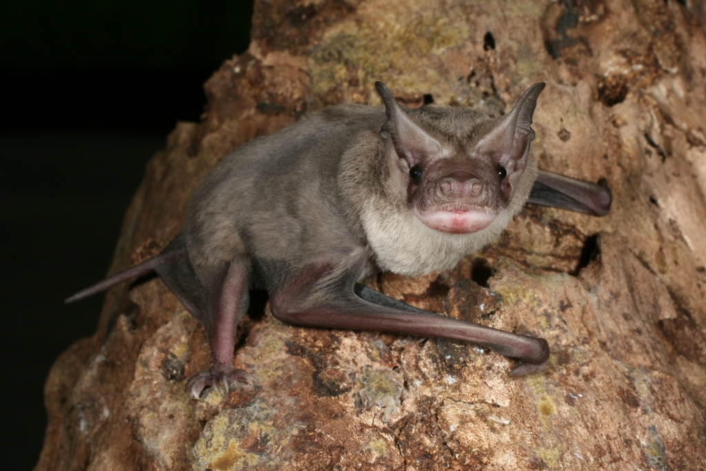 Lindy's freetail microbats are easy to feed in care.