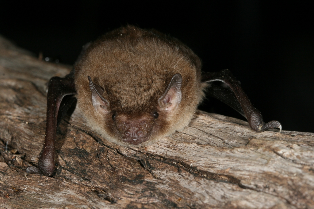 Northern broad nosed microbats are easy to feed in care.