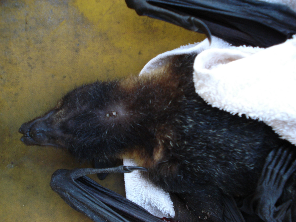 spectacled flying fox found on colony search with two ticks