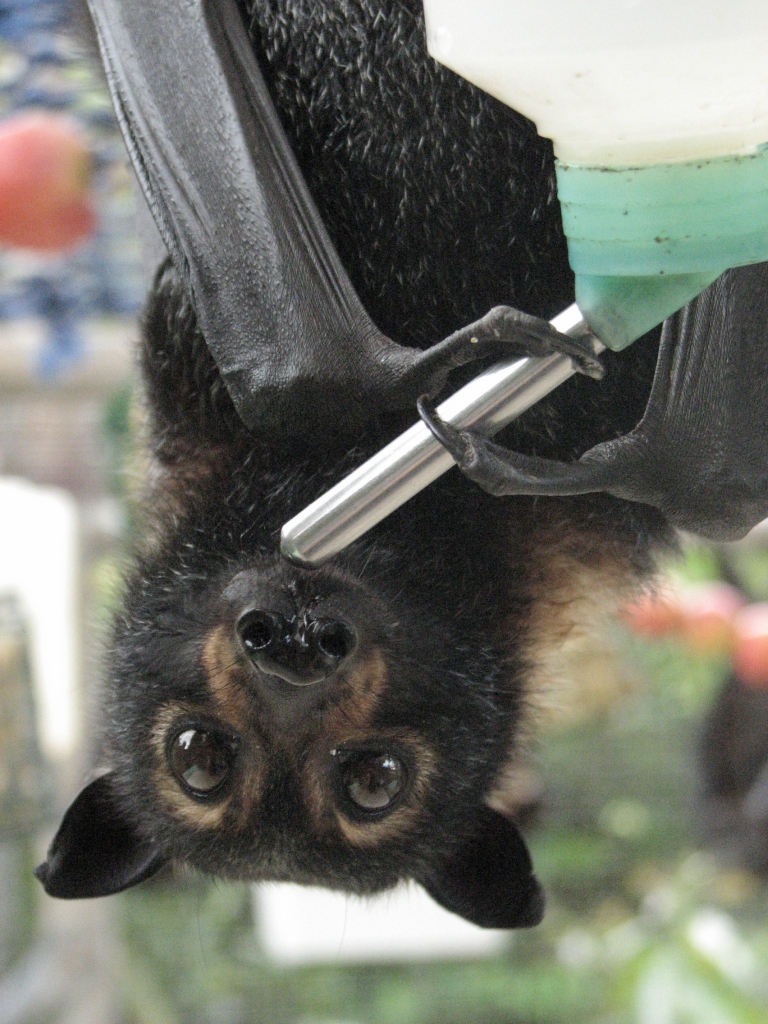 spectacled flying fox_drinking salt water