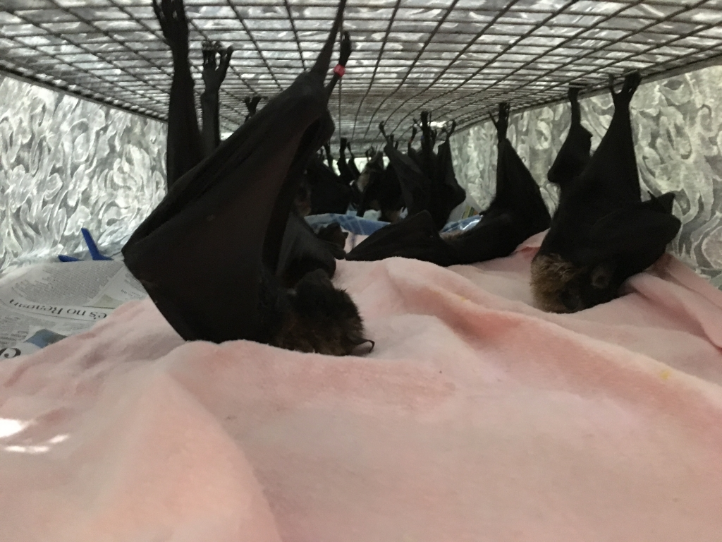 spectacled flying fox_in lie down