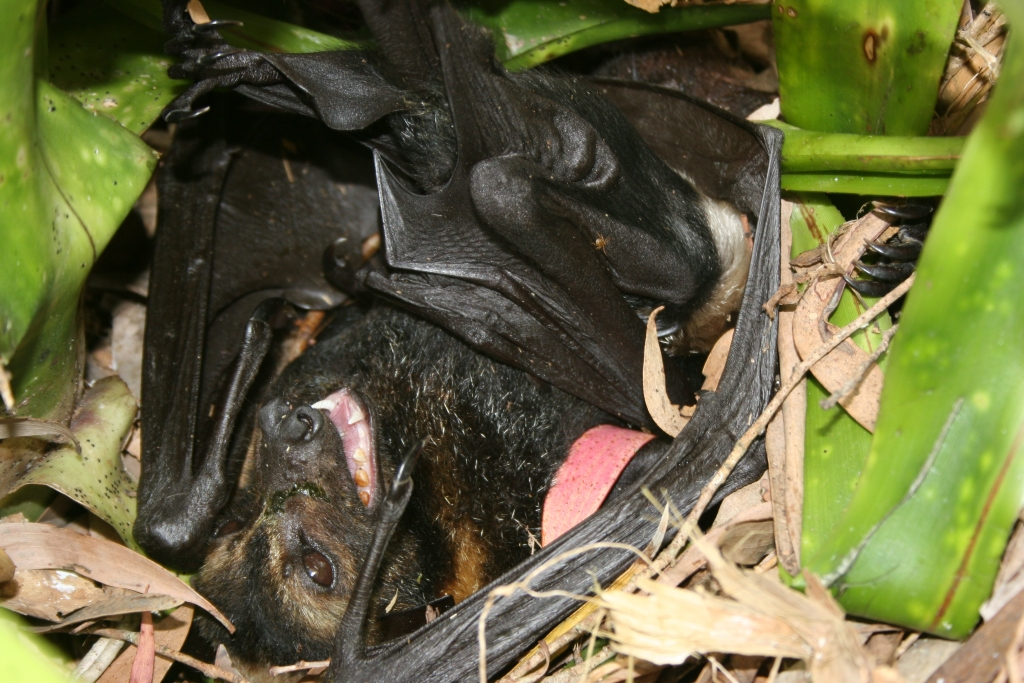spectacled flying fox_paralysed