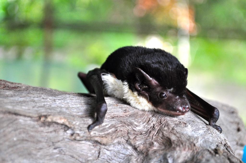 Yellow-bellied sheath tail bats are a big beautiful microbat.