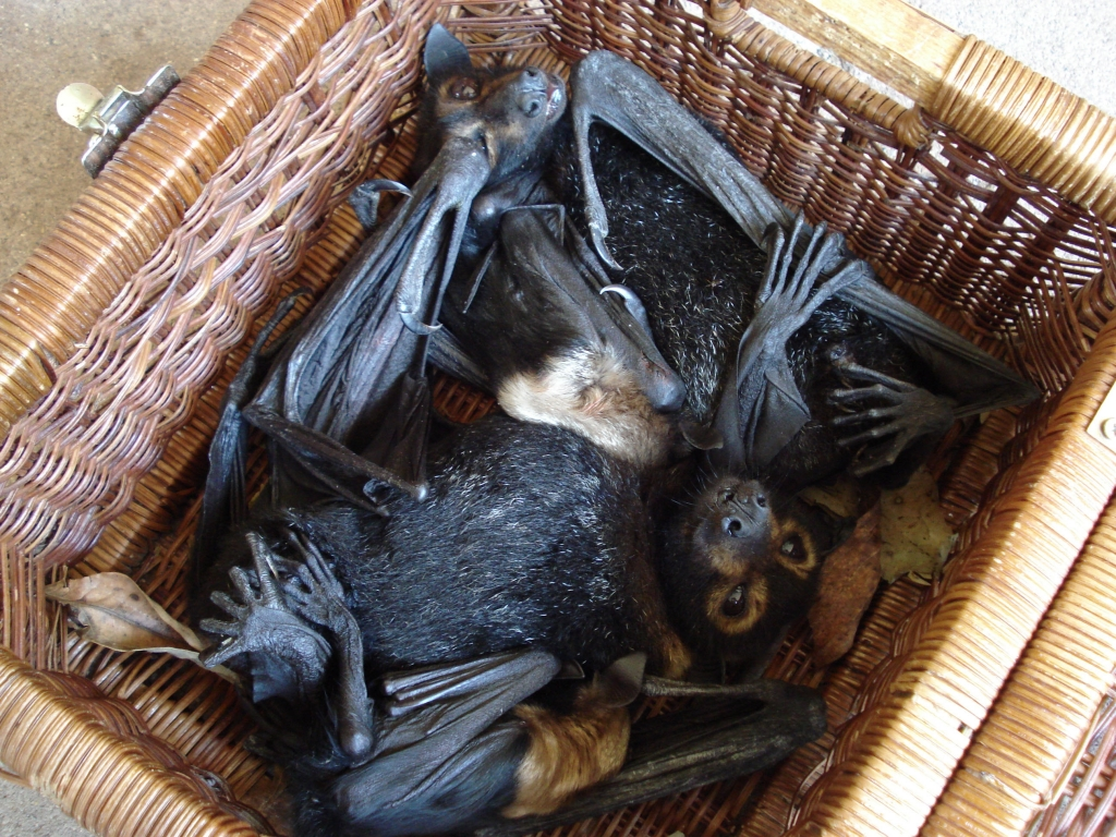 spectacled flying fox_paralysed in basket
