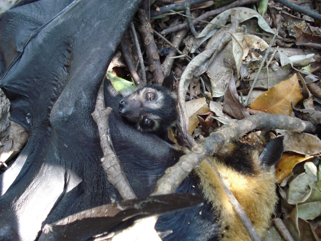 spectacled flying fox_dead tick mum and live pup