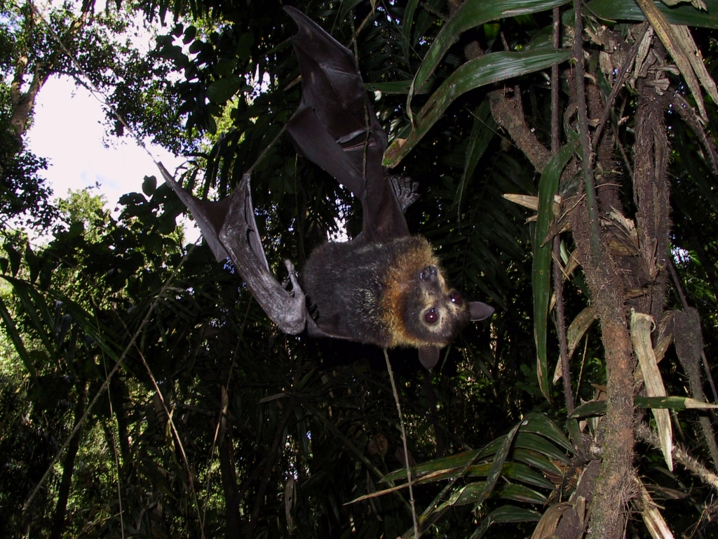 It's important to look up while on flying Fox colony searches.