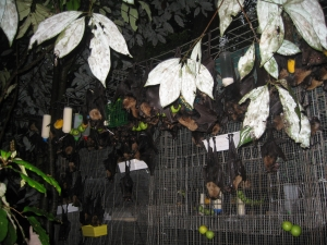 spectacled flying fox_release cage