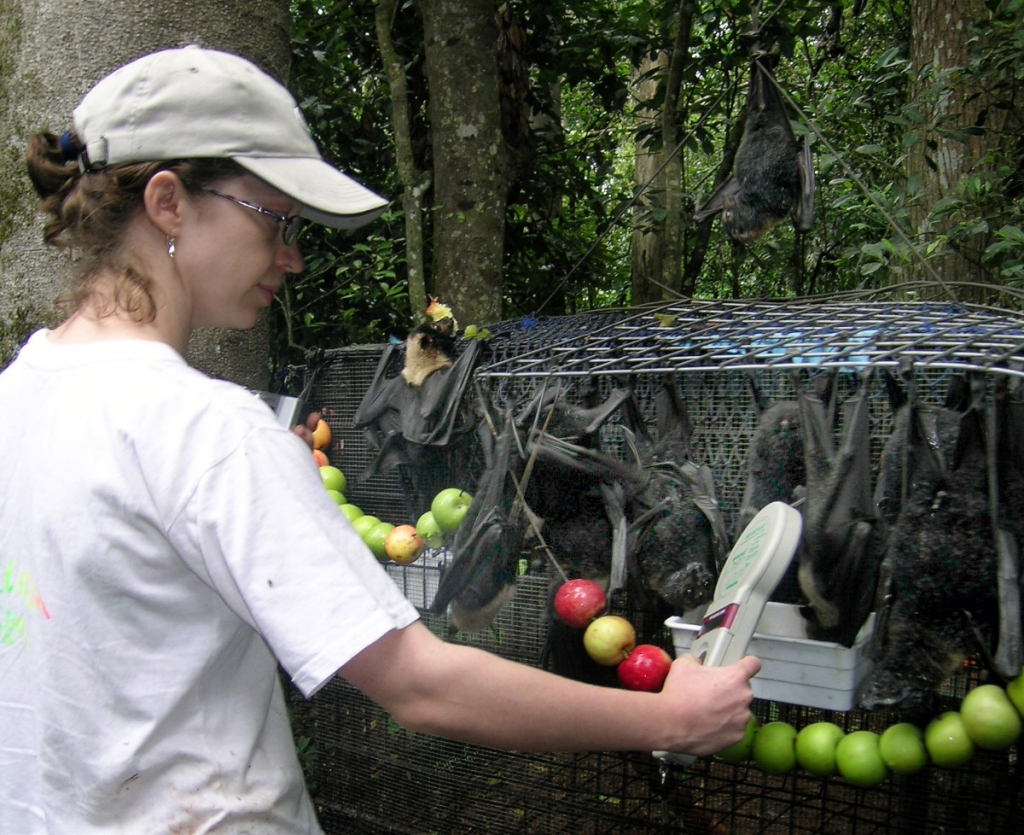 The result from releasing orphaned flying foxes can be partly gauged by the microchips returns.