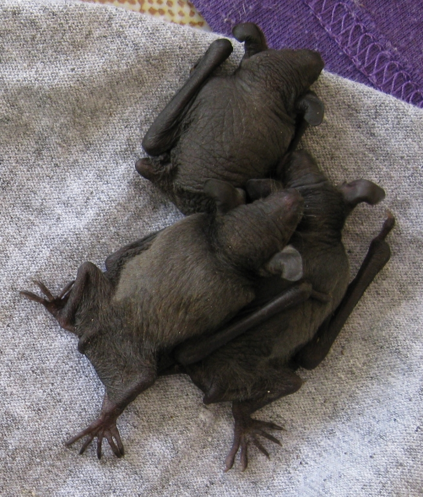 Three young microbats from a maternity roost of fishing bats