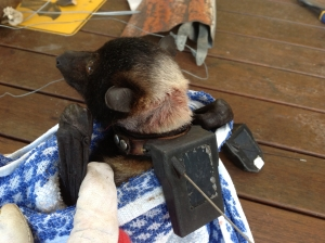 spectacled flying fox_tracking collar