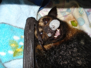 spectacled flying fox_pulmonary edema from tick paralysis