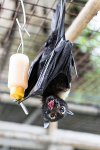 spectacled flying fox_licking