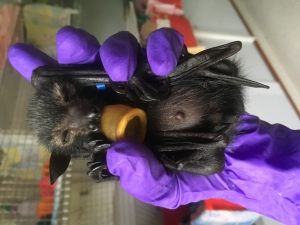 spectacled flying fox_young pup