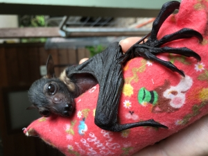 spectacled flying fox_on roll