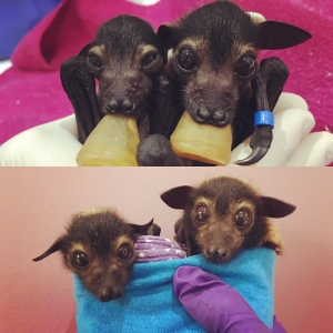 spectacled flying fox_twins