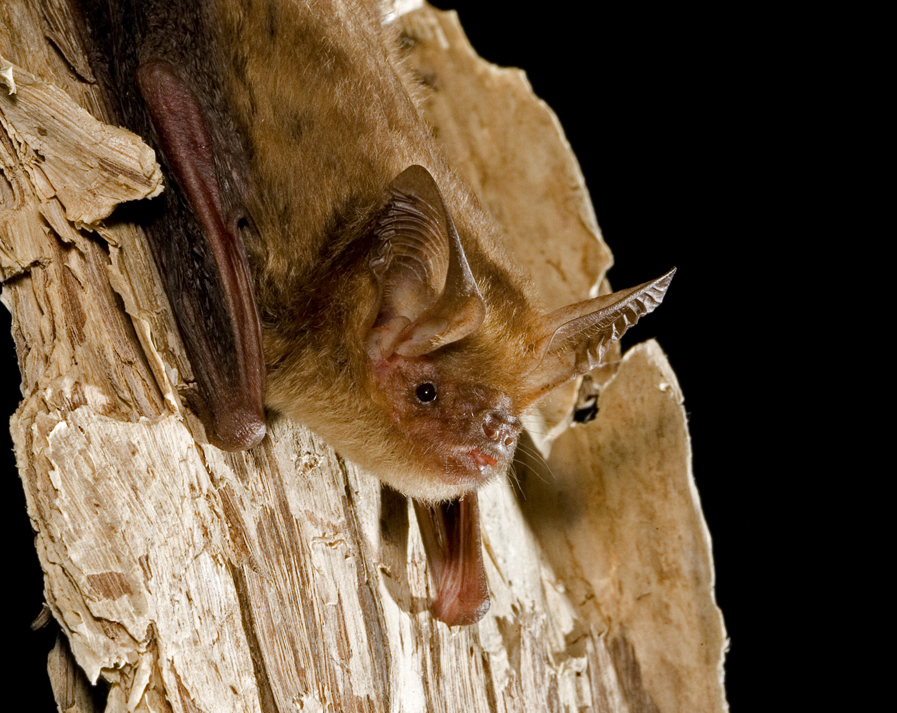 Northern long-eared bats learn to feed whole worms very quickly when in care.