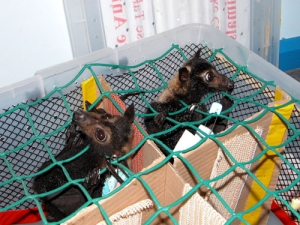 spectacled flying fox_airlift