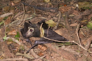 spectacled flying fox_tick paralysis