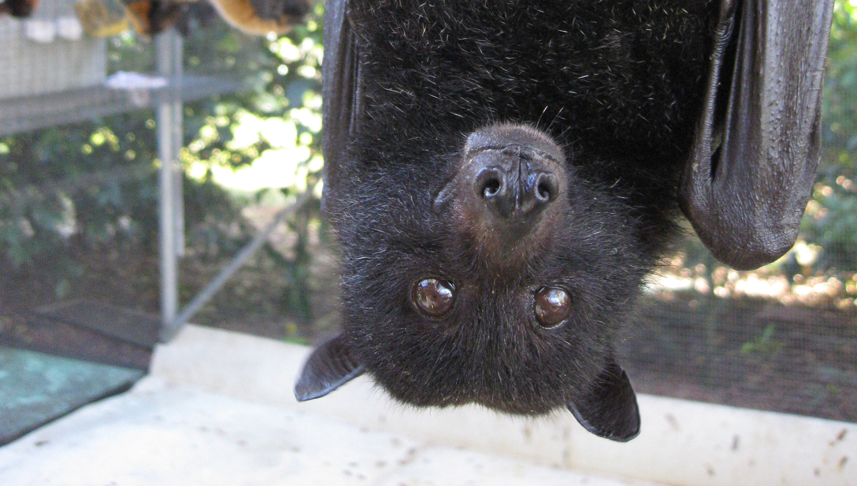 Black flying foxes are one of 4 Australian flying fox species.