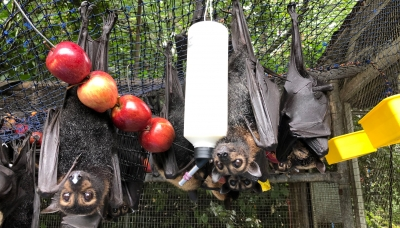 spectacled flying fox orphans from heat event 2018