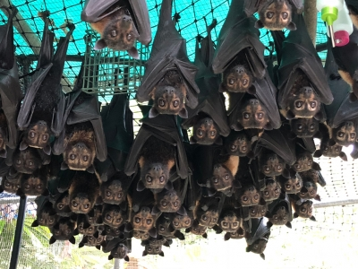 spectacled flying fox orphans back from Brisbane