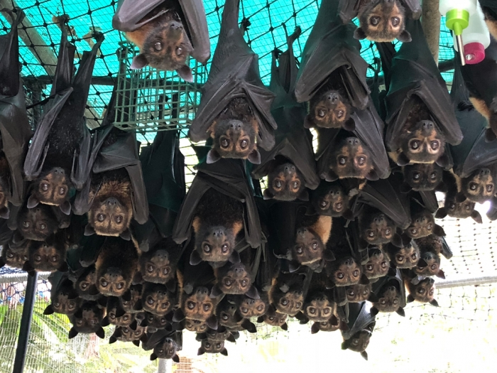 spectacled flying fox orphans who survived a heat stress event