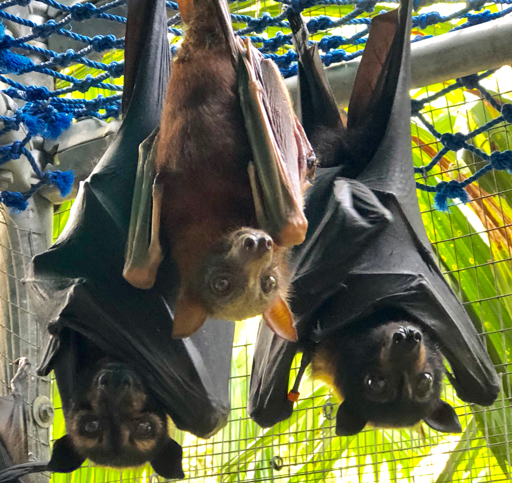 spectacled flying foxes with little red