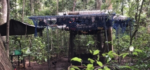 spectacled flying fox_release cage at Tolga Scrub