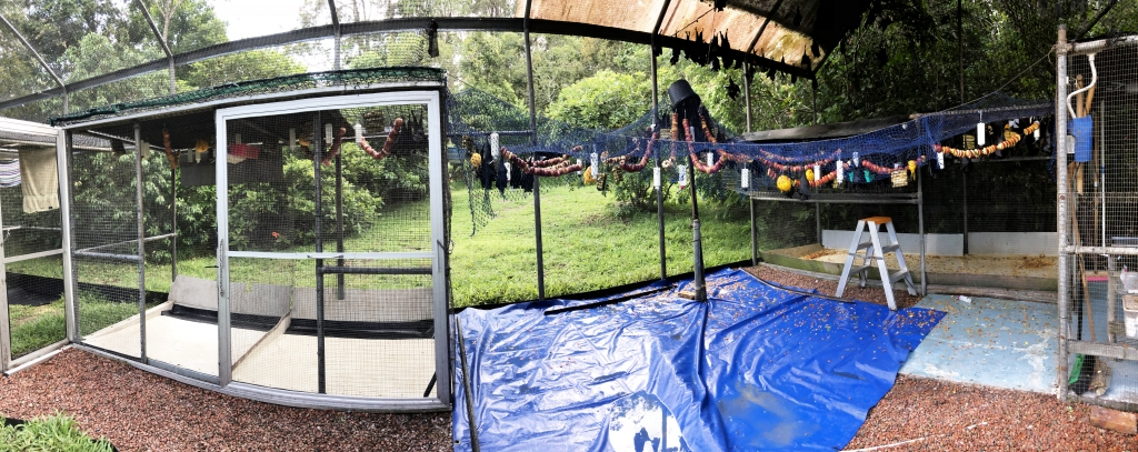 spectacled flying fox_temporary feeding area when 750 orphans in care