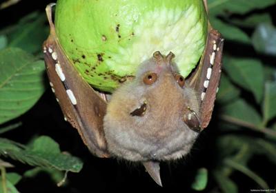 tube-nosed fruitbat eating hard fruit
