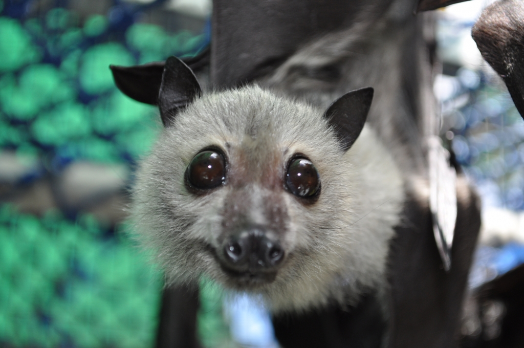 spectacled flying fox orphan