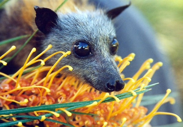 grey-headed flying foxes area nectar feeders and important pollinators