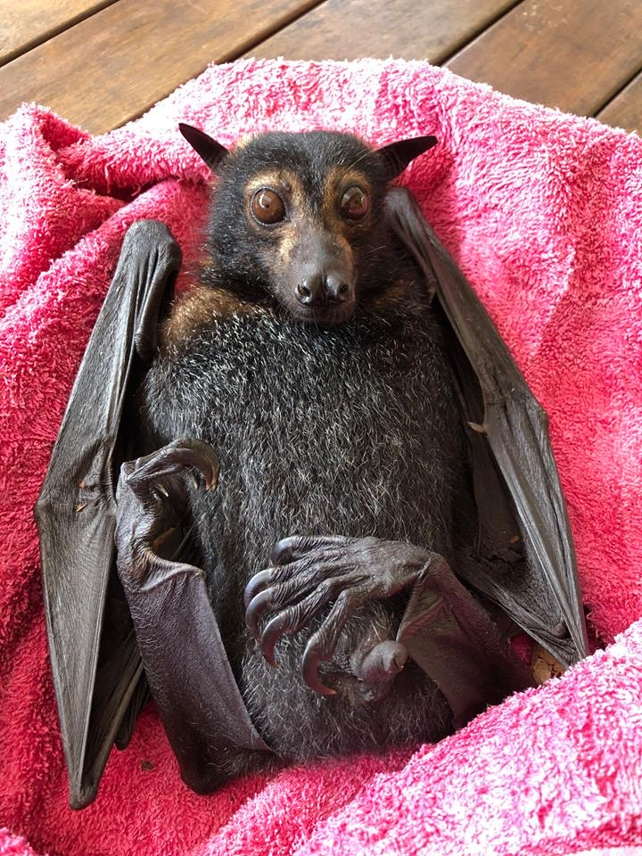 A very relaxed Spectacled flying fox with tick paralysis.