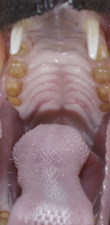 Tongue and roof of mouth of a Black flying fox, used to licking nectar and making spats.